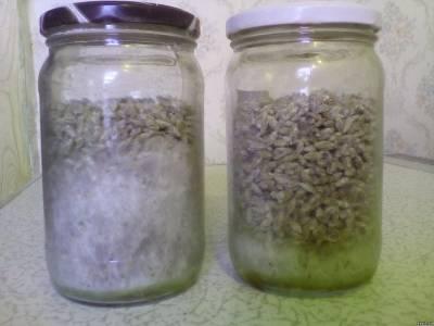 рост мицелия